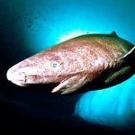 O tubarão mais velho do mundo!